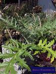 Artischocke (Cynara cardunculus)