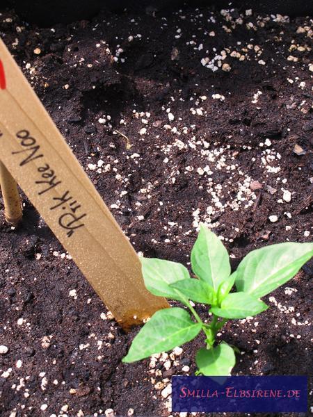 Chili-Pflanze