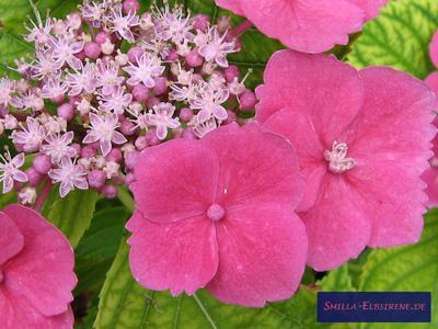 Gartenhortensie pink