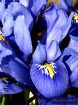 Bildhübsche Iris reticulata