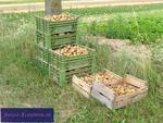 Kartoffeln (Solanum tuberosum)