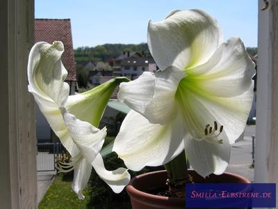 Ritterstern-Amaryllis