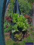 Salat vertikal im Pflanzbeutel angebaut