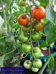 Tomate Tigerella  (Solanum lycopersicum 'Tigerella')