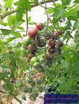 Cocktail-Tomate 'Black Cherry'
