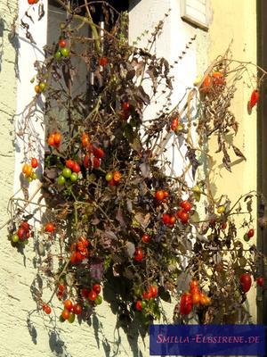 Tomaten-Fenster